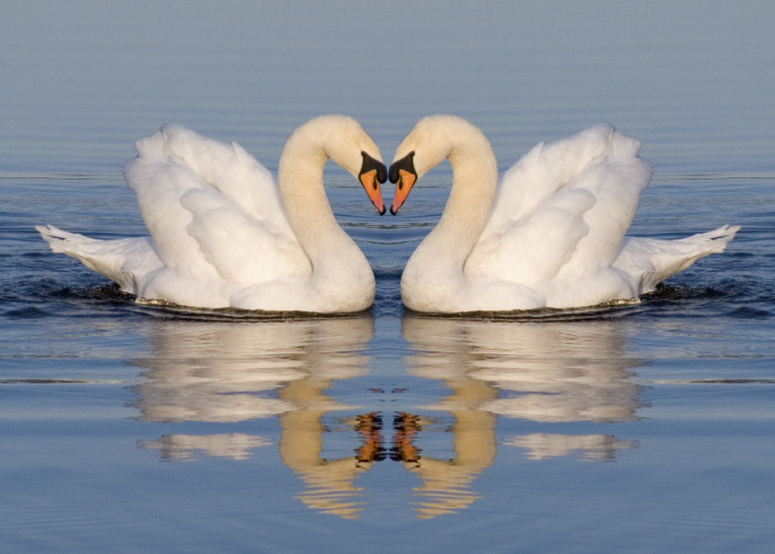 """""""If She Were A Swan…"""" – Celebrate Women's Heart Health Month with the Hired Hands Homecare Challenge"""